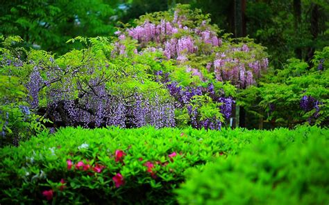 wisteria flower sun shines wisteria flowers wallpapers