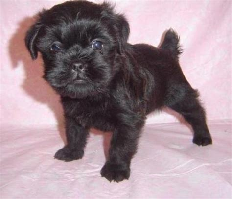 affenpinscher puppies for sale pets altamonte springs fl free classified ads