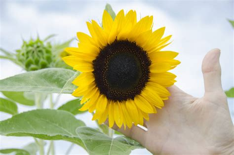 scientists   sunflowers  clean  nuclear