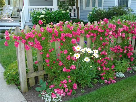 Flower Garden Fence Climbing Roses On Board Fence