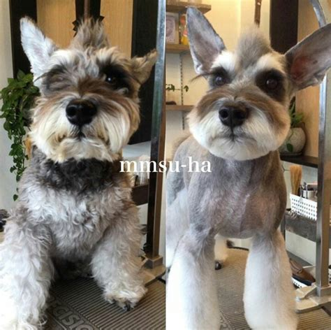 asian style schaunzer hair trim pin by iris saborio on schnauzer pinterest dog