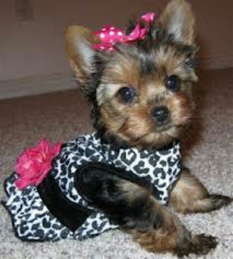 teacup yorkies for sale in st louis mo 11 best cougars two and four legged images on animals big cats