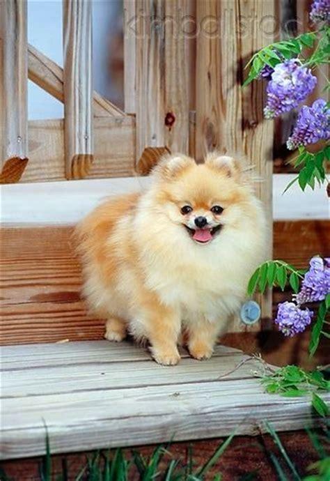 interesting facts about pomeranians 17 best ideas about small dogs on cutest small dogs cutest small