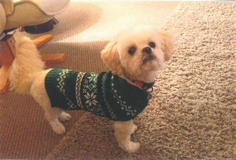 shih tzu rescue scotland bonnie 10 year maltese cross shih tzu for adoption