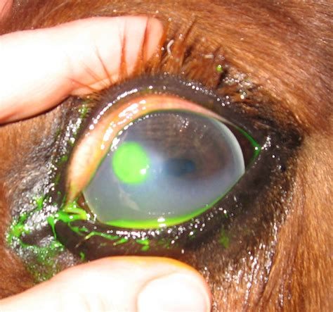 corneal ulcer eye basics every owner needs to three oaks equine veterinary services