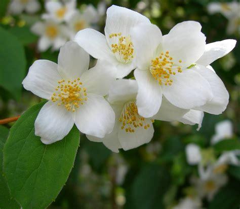 fiore bianco profumato la stellina della terra il gelsomino impronta unika