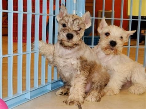 puppies in ct miniature schnauzer puppies for sale in hartford connecticut county ct