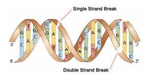 dna breaks single stranded single stranded dna breaks
