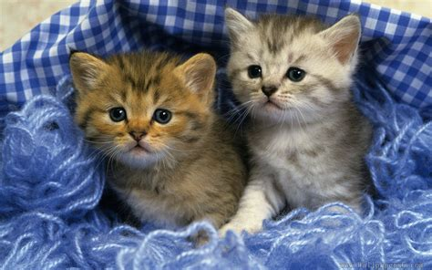 kitten wallpaper for windows 7 two cats hide in cloth and wool animal wallpapers free