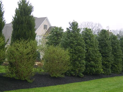 backyard shrubs privacy outdoor designs columnar plants for nashville landscapes