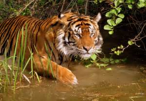 tiger colors brownish orange tiger colors photo 34705074 fanpop