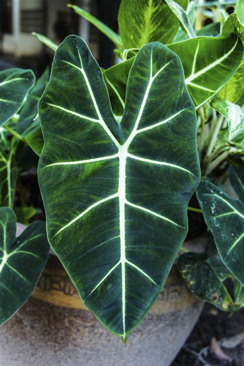alocasia plant feeding how and when to fertilize