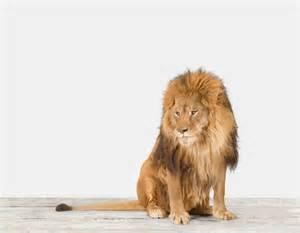 Lion Print by Lion No 1 The Animal Print Shop By Sharon Montrose