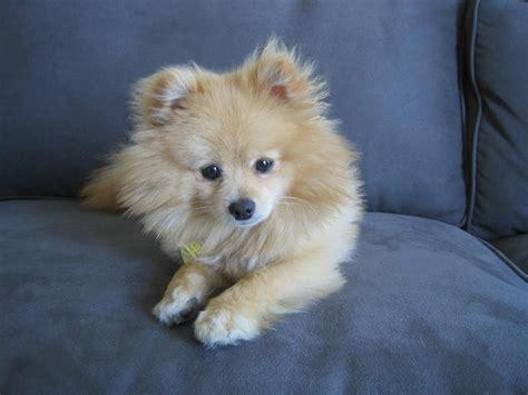 golden pomeranian puppies golden pomeranian puppy pics jpg hi res 720p hd