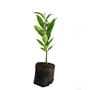 Bibit Daun Salam 10 cara menanam daun salam dalam pot panduan lengkap