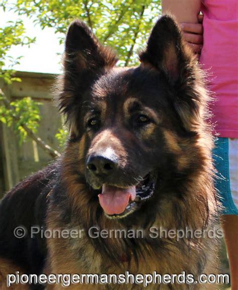 large german shepherd puppies for sale available coat german shepherd puppies for sale coat german shepherd