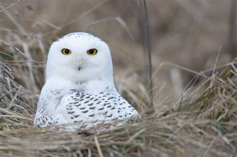 habitat of snowy owls exploring the cold places they live in