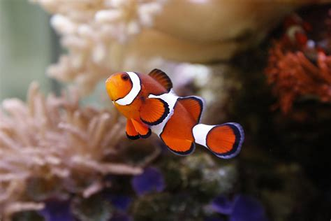 anemone eat clownfish the enigmatic relationship between clownfish and sea anemone