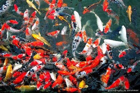 Pakan Ikan Lele Liar cara memberi makan ikan koi yang bik dan benar