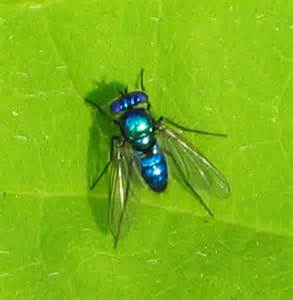 Blus Fly by Bright Blue Flying Insect Related Keywords Bright Blue