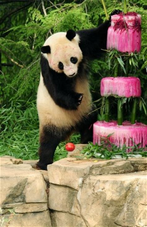 Fedex Background Check Washington Panda Cub To Be Shipped Via Fedex To China