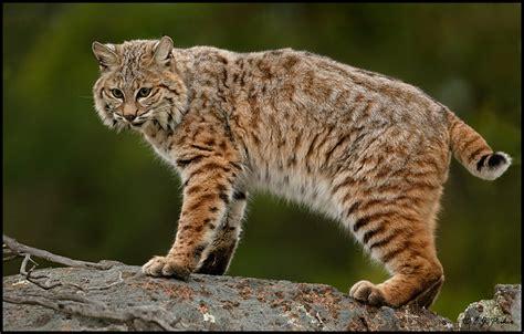 Bobcat Page