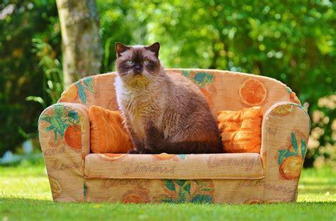 cat on sofa free photo sofa couch cat british shorthair free