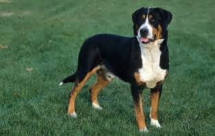 greater swiss mountain breed information