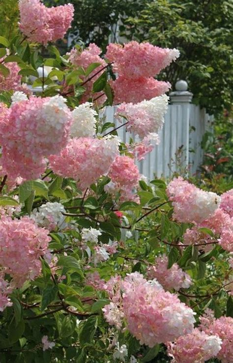 growing guide for vanilla strawberry hydrangea sun summer and deer