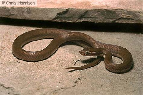 african house snake the african house snake photo gallery