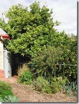 fruit trees adelaide adelaide kitchen gardeners fruit trees and water in