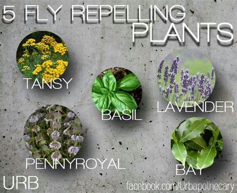 fly repelling plants diy pinterest