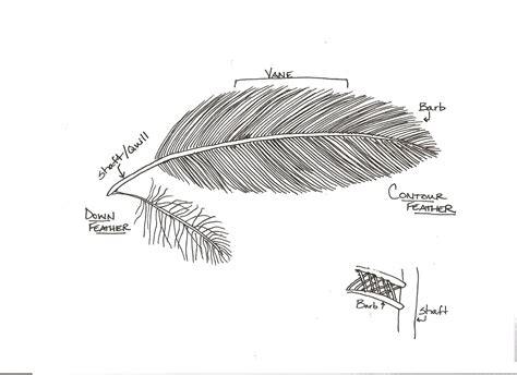 feather diagram pin by eileen on birds