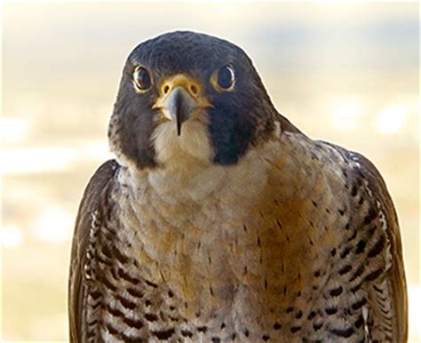 woodmenlife tower peregrine falcon watch