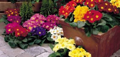 fiori primaverili da balcone fiori primaverili da balcone e giardino quali scegliere