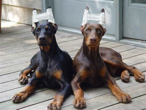 saved by dogs doberman pinscher