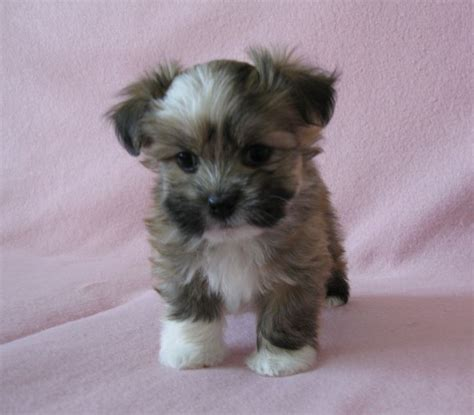havanese breeders near me the 25 best buy puppies ideas on puppy shelters rescue puppies and