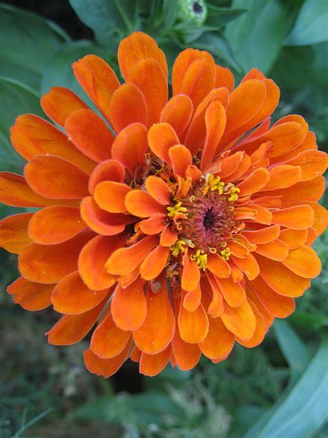 fiori zinnie zinnie garden it