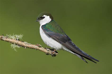 avian l for birds violet green swallow audubon field guide