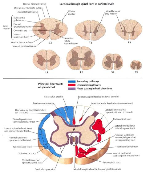 describe the cross sectional anatomy of spinal cord srna daily review central nervous system physiology