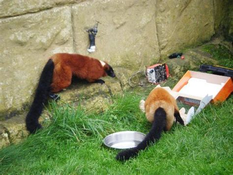amazon zoo lemurs investigating an empty box picture of amazon