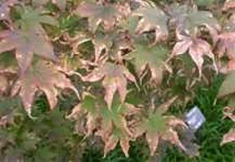 maple tree leaves curling leaf scorch on japanese maples