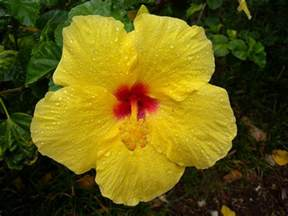 state flower pictures of hawaii state flower beautiful flowers