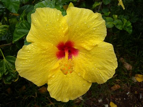 state flowers pictures of hawaii state flower beautiful flowers