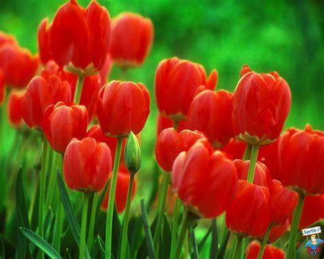 immagini di fiori tulipani tulipani pagina 12