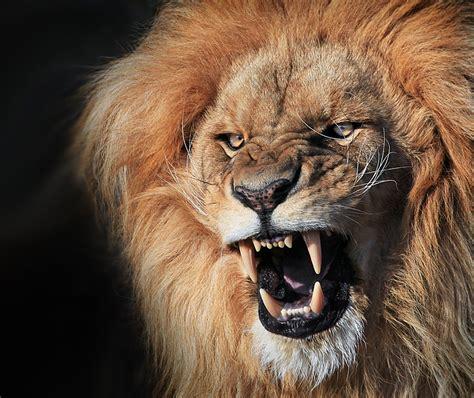 imagenes full hd de leones fotos de animales hd increibles taringa