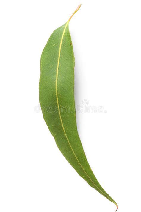 printable gum leaves gum leaf stock photo image of nature isolated leaf