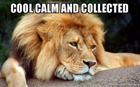 calm cool and collected cool calm and collected confession lion make a meme