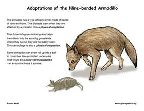 How Do Jaguars Adapt To Their Environment Adaptations Of The Armadillo