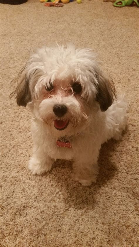 havanese rescue mn havanese pictures facts and user reviews